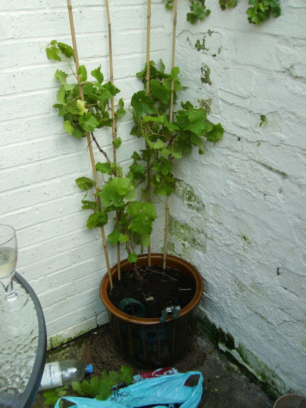 The Vine at home